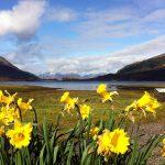 Daffodils by Loch Leven
